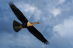 Snake Bird in Flight-2