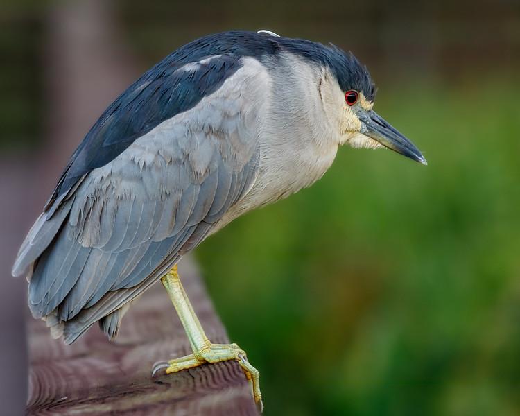 Night Heron-