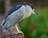 Night Heron-