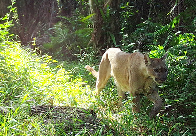 florida panther within the swamp