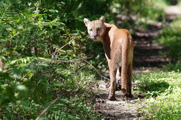 November image - midday florida panther.