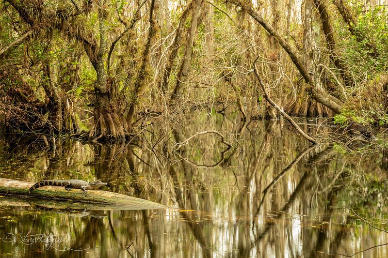 Alligator's Kingdom - Big Cypress Preserve, FL 2018