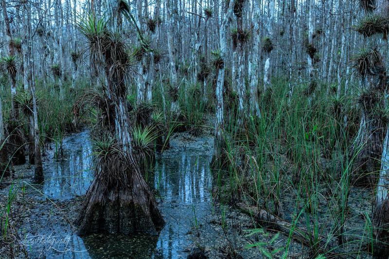 Air Plants  - Big Cypress Preserve, FL 201