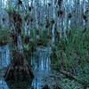 Air Plants  - Big Cypress Preserve, FL 201