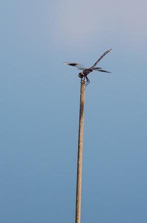 Dragonfly stalking