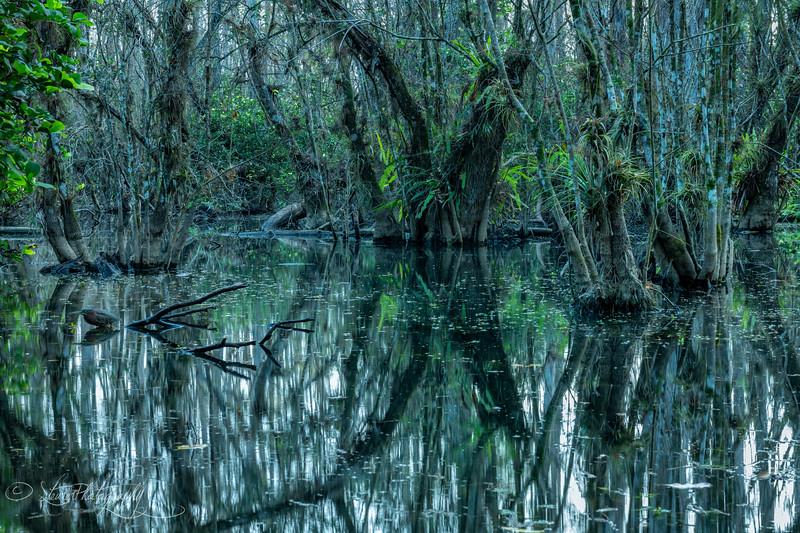 Swamp Cathedral - Big Cypress Preserve, FL 2018