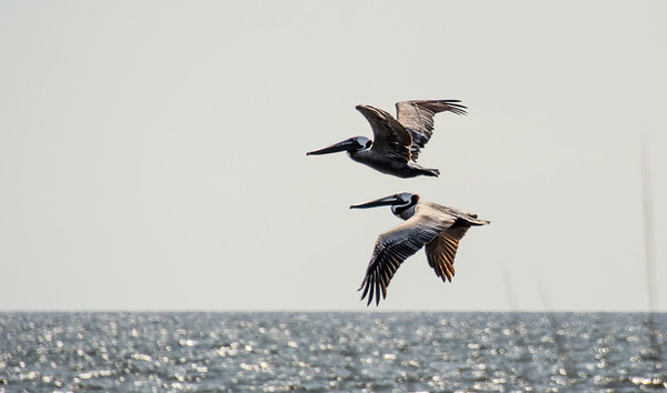 Paired Pelicans
