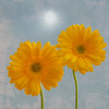 Two Daisies