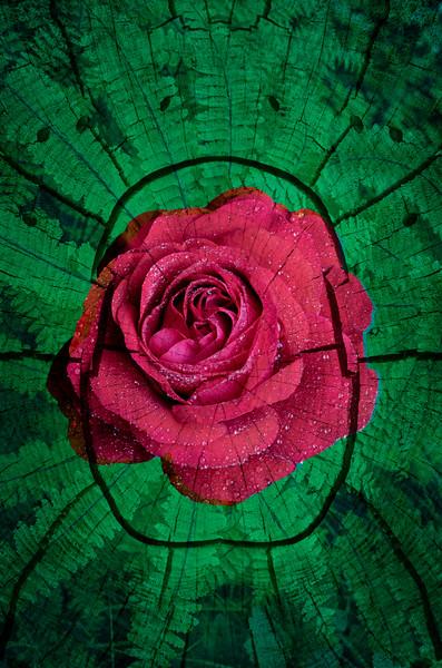 Rose Scarab Mandala