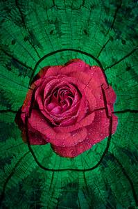 Rose mandala.  Do you see the Scarab?