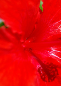Red Hibiscus, San Diego, CA.  ©JLCramerPhotography 2008