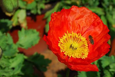 California Red Poppy ©JLCramerPhotography 2009
