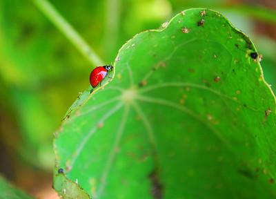 Nasturtium Leaf, San Diego, CA.  ©JLCramerPhotography 2008