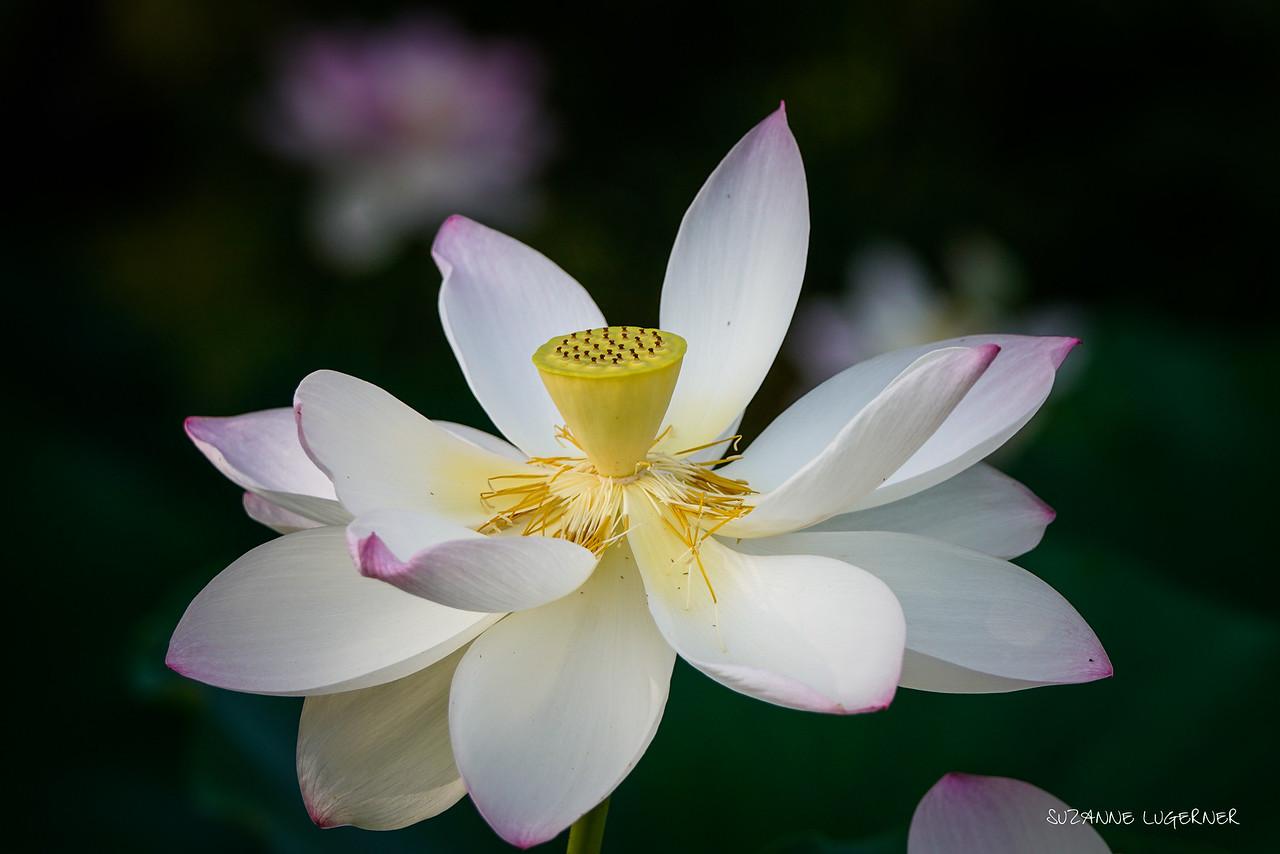 Open Lotus #2