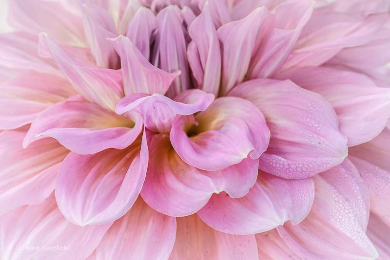 Pink Dahlia with Dew