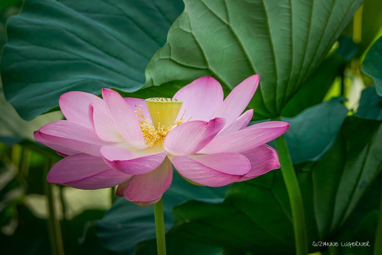 Pink Lotus #2