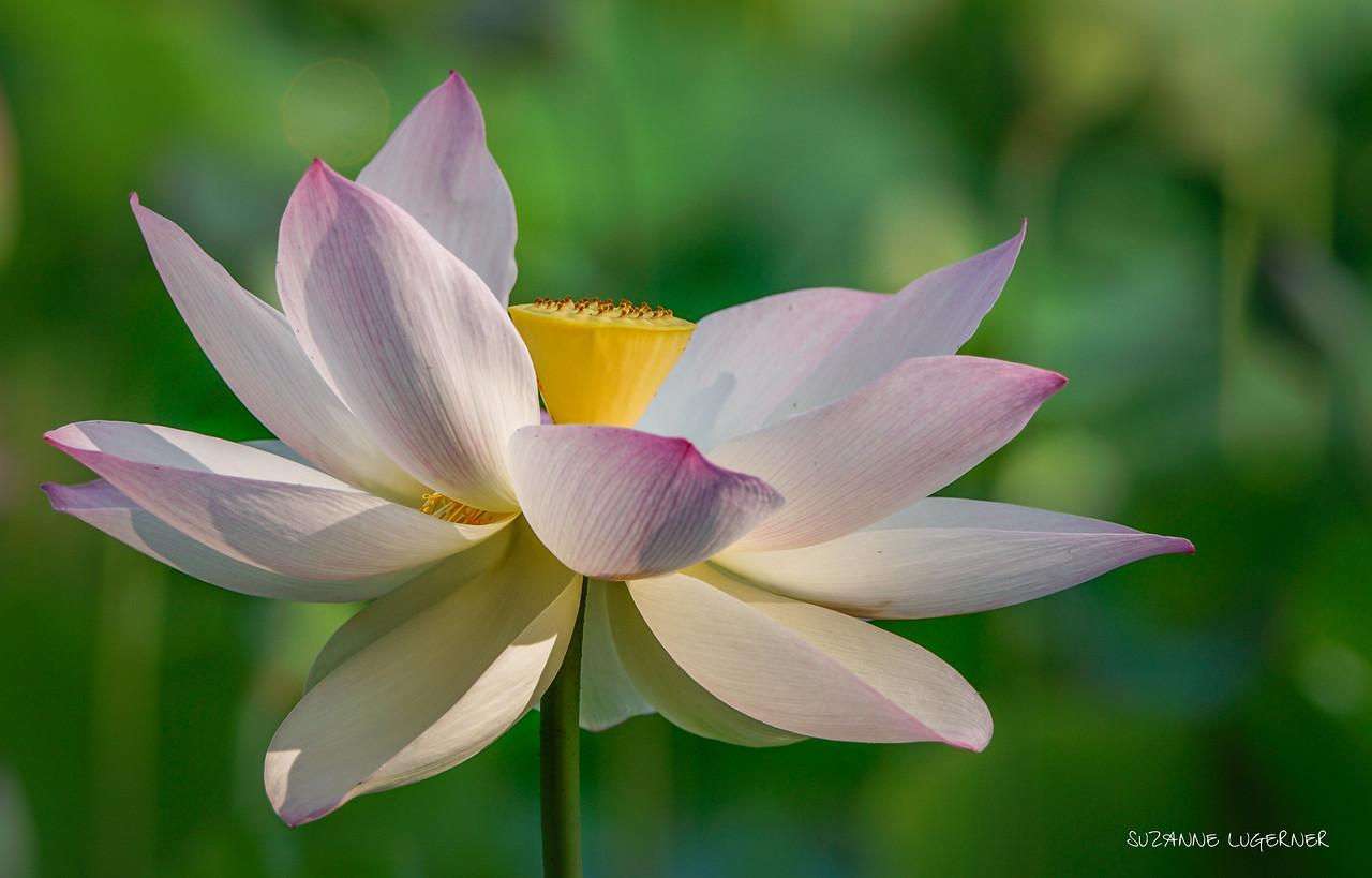 Open Lotus