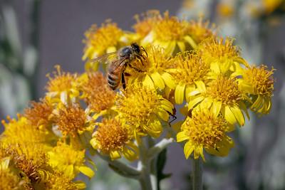 Honeybee Macro