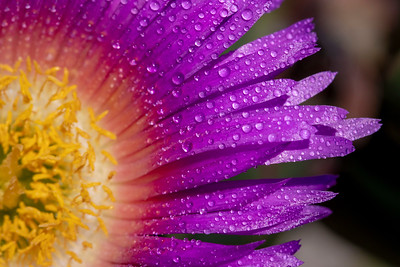 Ice Plant Purple