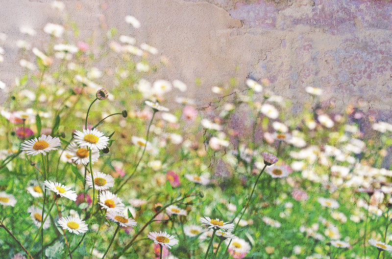 The Daisy Wall