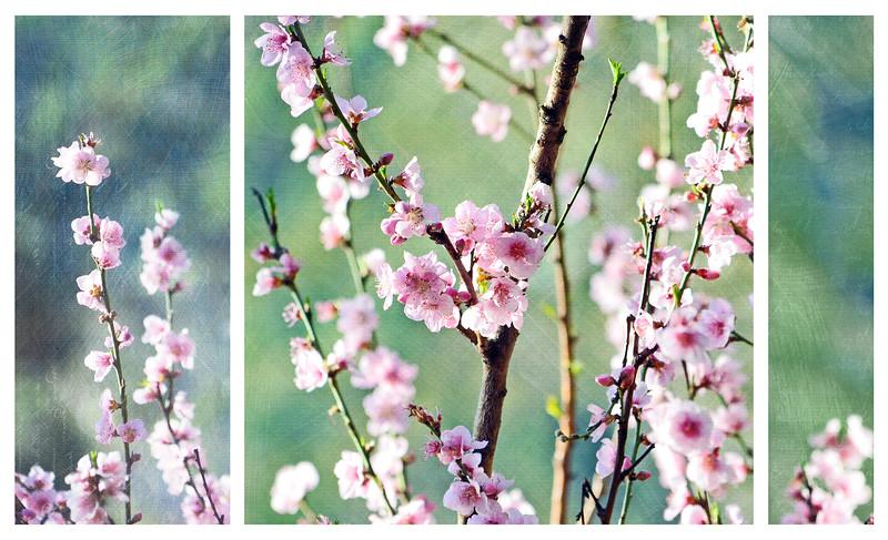 Vintage Cherry Blossom Triptych