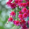 Vibrant pink zygocactus flowers V