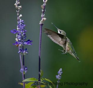 Salvia and Ruby-throated Hummingbird