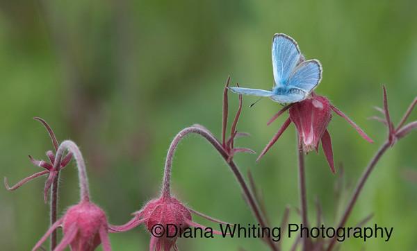 Azure Butterfly on Smoke Prairie Grass