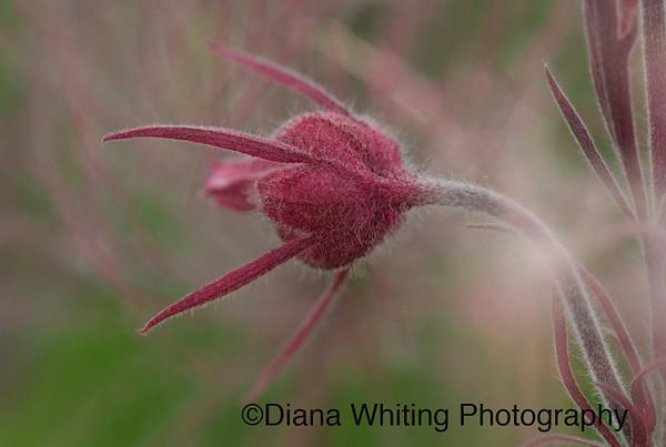 Smoke Prairie Grass