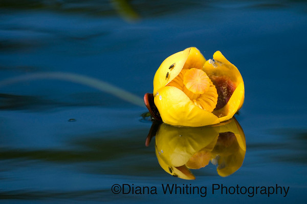 Bullhead Lily copy