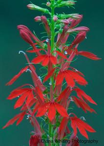Cardinal Flower 3