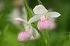 Showy Lady Slippers