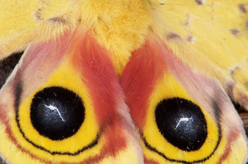 Io Moth Tail