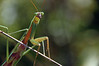 Suspicious Preying Mantis