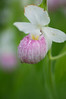 Water on a Showy Lady Slipper