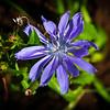 Purple Dandelion in Ringwood