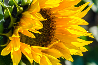 Sunflower at Donaldson Farms