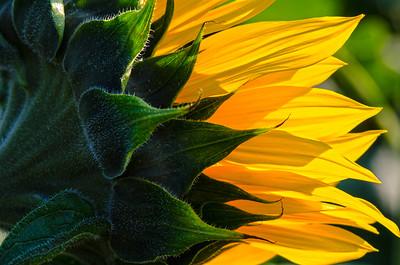 Sunflower at Donaldson Famrs