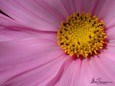 Pink Cosmos (Macro)