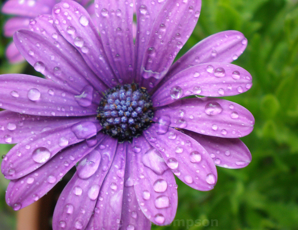 Purple Daisy in the Rain