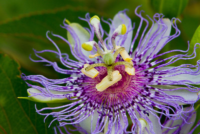Blue Passion Flower (P. caerulea) FL1004-1428