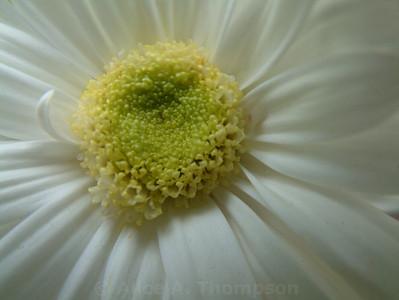 White Cosmos (Macro)