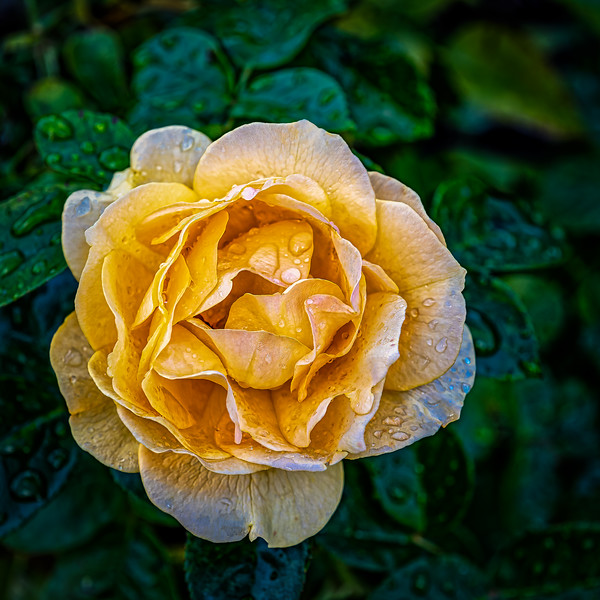Dewey Yellow Rose