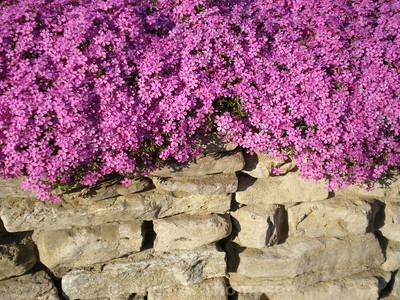 Pink Phlox and Rock Wall