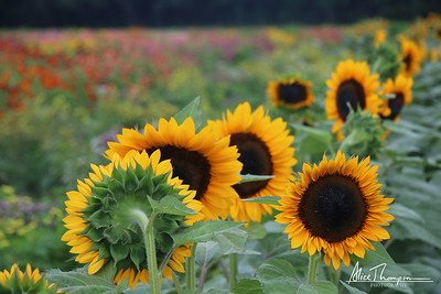 Sunflowers - Sandbridge, VA
