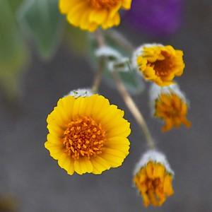 Desert Cassia