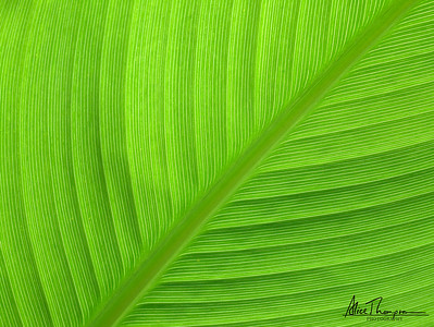 Elephant Ear Leaf (Macro)