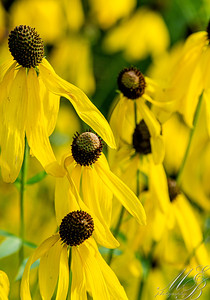 Grey-headed Coneflower