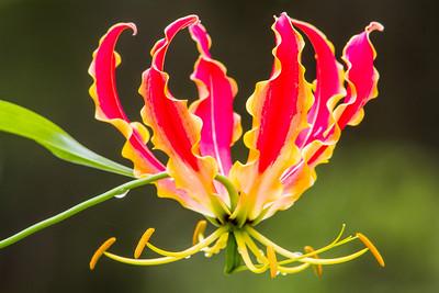 Gloriosa Lily (Gloriosa superba)