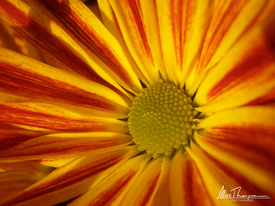 Orange and Yellow Daisy